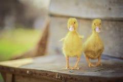 鸭子一点黄色 免版税图库摄影