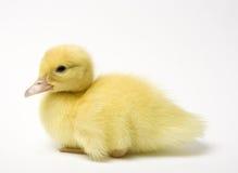 鸭子一点 免版税库存图片