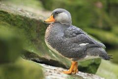 鸭子不能飞行的magellanic火轮 免版税库存照片