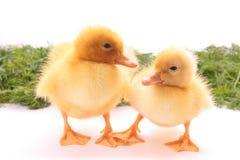 鸭子二个年轻人 免版税图库摄影