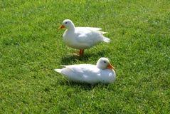 鸭子二白色 图库摄影