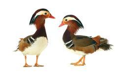 鸭子二 免版税库存图片