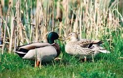 鸭子亲吻 免版税图库摄影