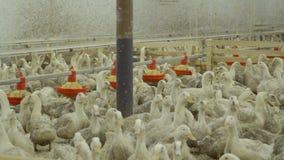 鸭子人群在家禽场的 股票视频
