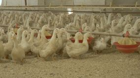 鸭子人群在家禽场的 影视素材