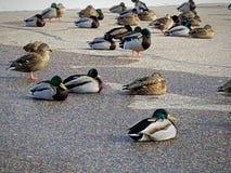 鸭子休息史蒂文斯点wi公园 图库摄影