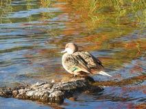鸭子休息 库存照片