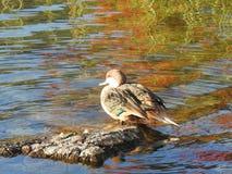 鸭子休息 免版税库存照片
