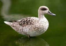 鸭子使有大理石花纹的水 免版税库存图片