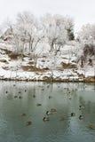 鸭子公园池塘 免版税库存图片