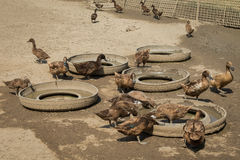 鸭子农场 库存照片