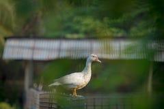 鸭子农场 免版税库存照片