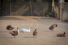 鸭子农场 免版税图库摄影