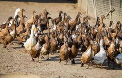 鸭子农场 免版税库存图片