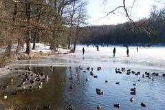 鸭子冰池塘 库存照片