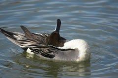 鸭子北长尾凫 库存图片