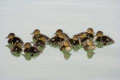 鸭子十三 免版税库存照片