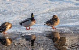 鸭子反射 库存图片