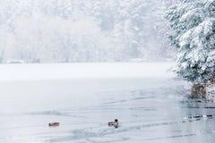 鸭子和一个半结冰的湖冬天风景  库存照片