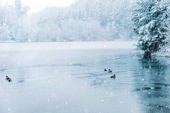 鸭子和一个半结冰的湖冬天风景  免版税库存照片