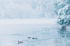 鸭子和一个半结冰的湖冬天风景  库存图片