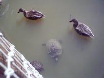 鸭子和乌龟,享用水 免版税图库摄影
