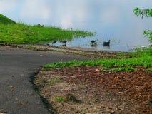 鸭子和其他海鸟在瓦尔登湖湖 免版税库存照片