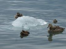 鸭子和冰山 库存图片