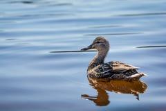鸭子和反射 免版税库存图片