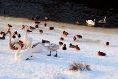 鸭子和天鹅在早期的春天遭受雪 库存图片