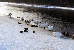 鸭子和天鹅在春天遭受寒冷 免版税图库摄影