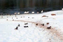 鸭子和天鹅在春天遭受雪 免版税库存照片