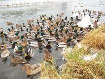 鸭子和天鹅在河在冬天 免版税库存图片