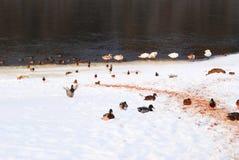 鸭子和天鹅在雪 库存照片
