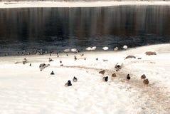 鸭子和天鹅遭受雪 免版税库存图片