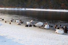 鸭子和天鹅遭受雪 库存图片