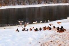 鸭子和天鹅 免版税图库摄影