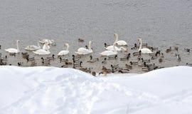 鸭子和天鹅 免版税库存图片