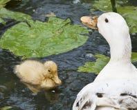 鸭子和她的妈咪 库存照片