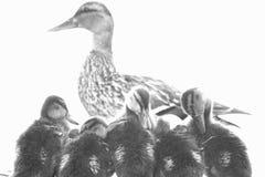 鸭子和孩子 库存图片