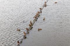 鸭子和河 免版税库存照片