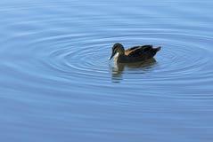 鸭子和波纹在池塘 库存照片