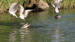 鸭子和海鸥 影视素材
