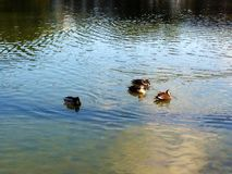 鸭子和湖 库存照片
