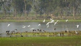 鸭子和白鹭飞行在Badaya湖, Bardia,尼泊尔 免版税库存照片