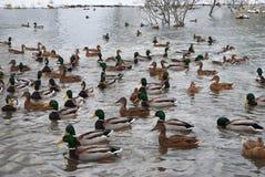 鸭子和雄鸭在湖 大集中 免版税库存照片