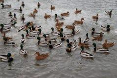 鸭子和雄鸭在湖 大集中 库存图片
