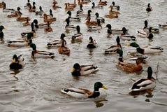 鸭子和雄鸭在湖 大集中 图库摄影