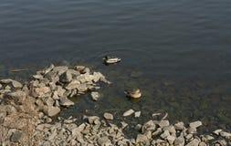 鸭子和雄鸭夫妇在湖照片游泳 免版税库存图片
