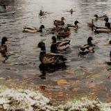 鸭子和雄鸭是一对巨大夫妇 图库摄影